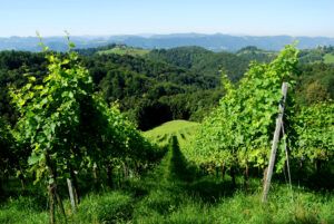 Weingarten-Suedsteiermark-Weingarten-Südsteirisches-Weinland-Naturpark-Wein-Landschaft-Aussicht-Urlaub-Unterkunft-Weingut-Rothschaedl