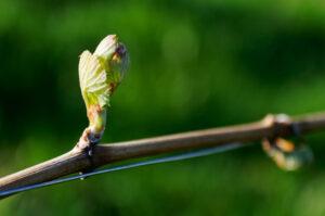 Weingarten-Weinrebe-Wein-Knospe-Trieb-Rebe-Blatt-Natur-Suedsteiermark-Leutschach-Weinstrasse-Urlaub-Wandern-Weingut-Rothschaedl