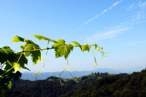 Weinrebe-Weingarten-Suedsteiermark-Steiermark-Suedsteirisches-Weinland-Naturpark-Landschaft-Natur-Weinstock-Aussicht-Huegelland-Kreuzberg-Urlaub-Weinstrasse-UnterkunftWeingut-Rothschaedl