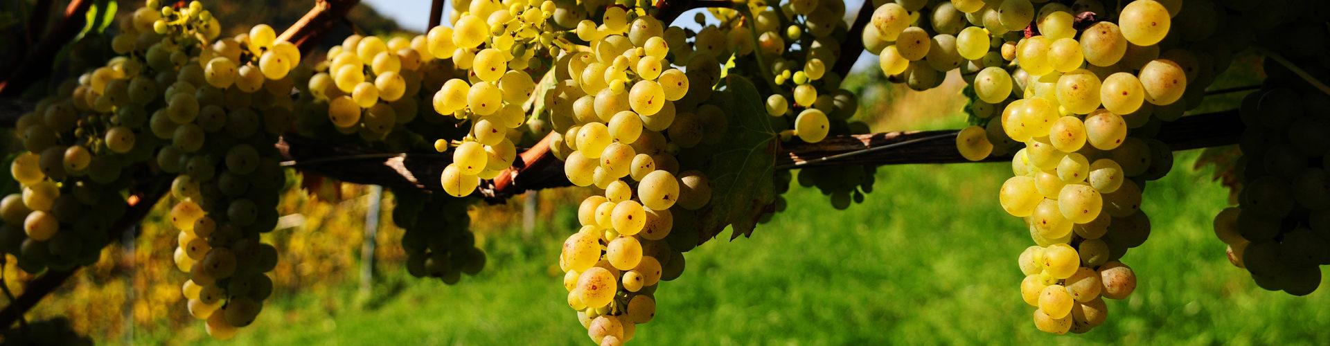 Reife Weintrauben kurz vor der Ernte im Weingarten.